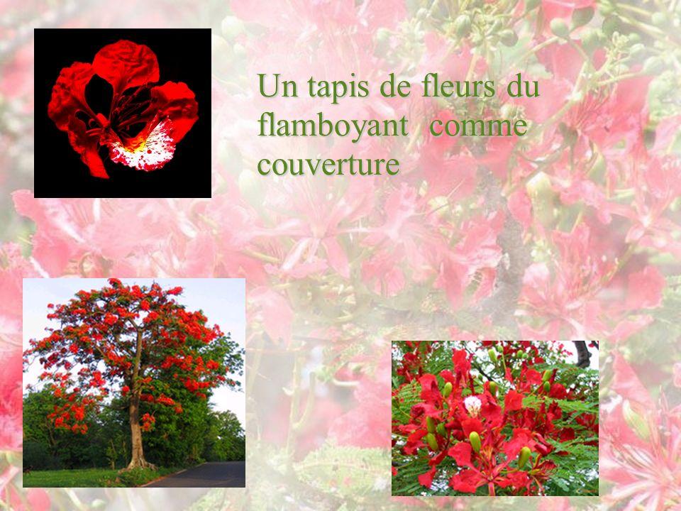 Un tapis de fleurs du flamboyant comme couverture