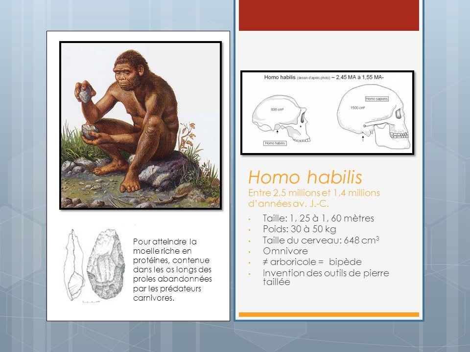 Homo habilis Entre 2,5 millions et 1,4 millions dannées av. J.-C. Taille: 1, 25 à 1, 60 mètres Poids: 30 à 50 kg Taille du cerveau: 648 cm 3 Omnivore