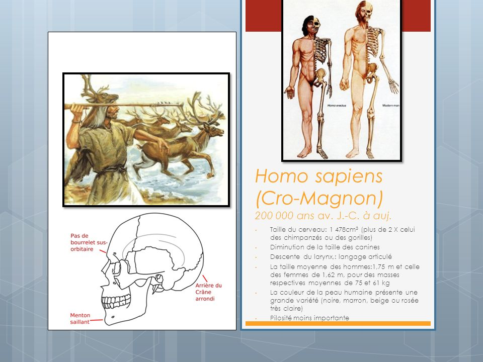 Homo sapiens (Cro-Magnon) 200 000 ans av. J.-C. à auj. Taille du cerveau: 1 478cm 3 (plus de 2 X celui des chimpanzés ou des gorilles) Diminution de l