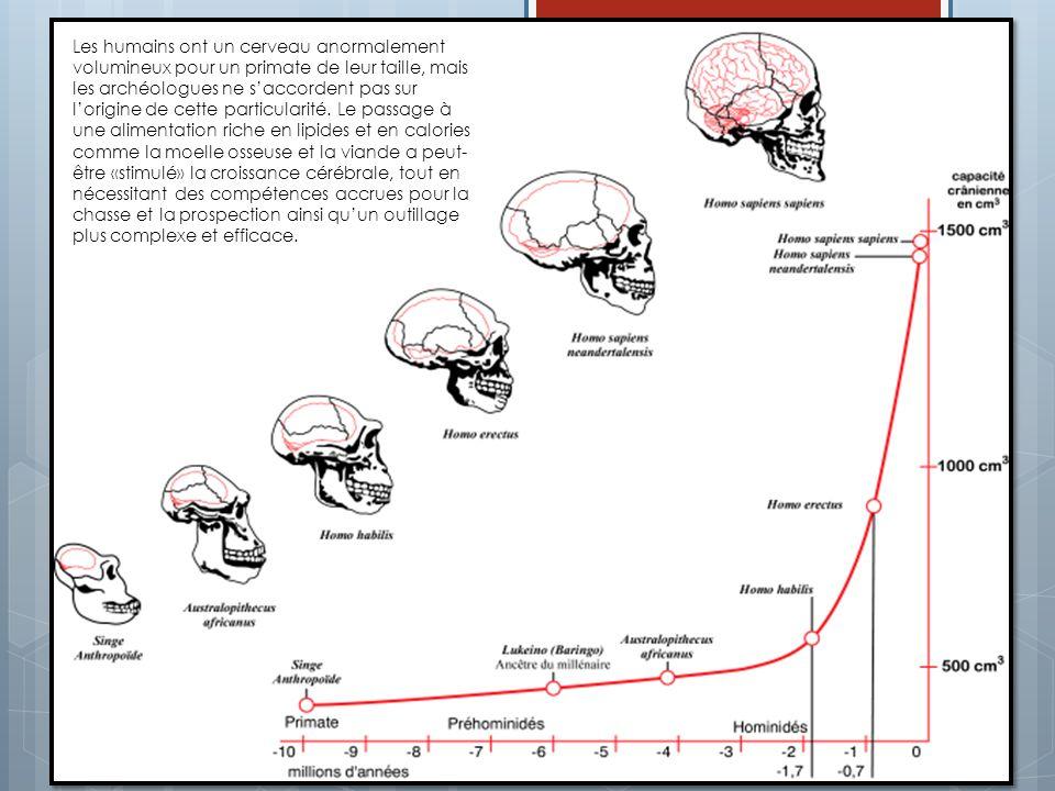 Les humains ont un cerveau anormalement volumineux pour un primate de leur taille, mais les archéologues ne saccordent pas sur lorigine de cette parti