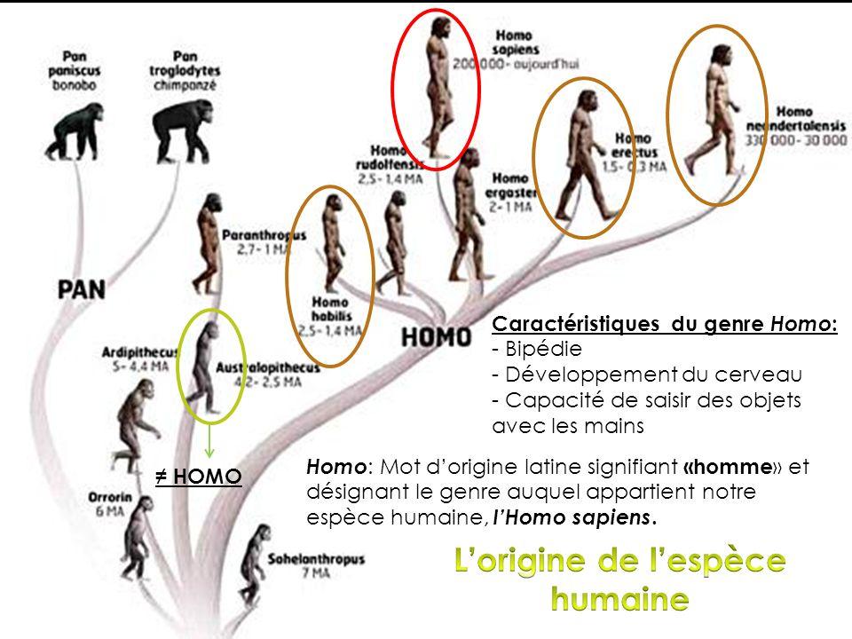 Homo : Mot dorigine latine signifiant «homme » et désignant le genre auquel appartient notre espèce humaine, lHomo sapiens. HOMO Caractéristiques du g