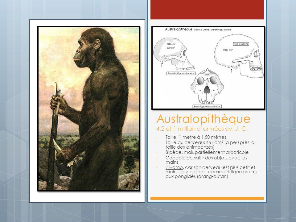 Australopithèque 4,2 et 1 million dannées av. J.-C. Taille: 1 mètre à 1,50 mètres Taille du cerveau: 461 cm 3 (à peu près la taille des chimpanzés) Bi