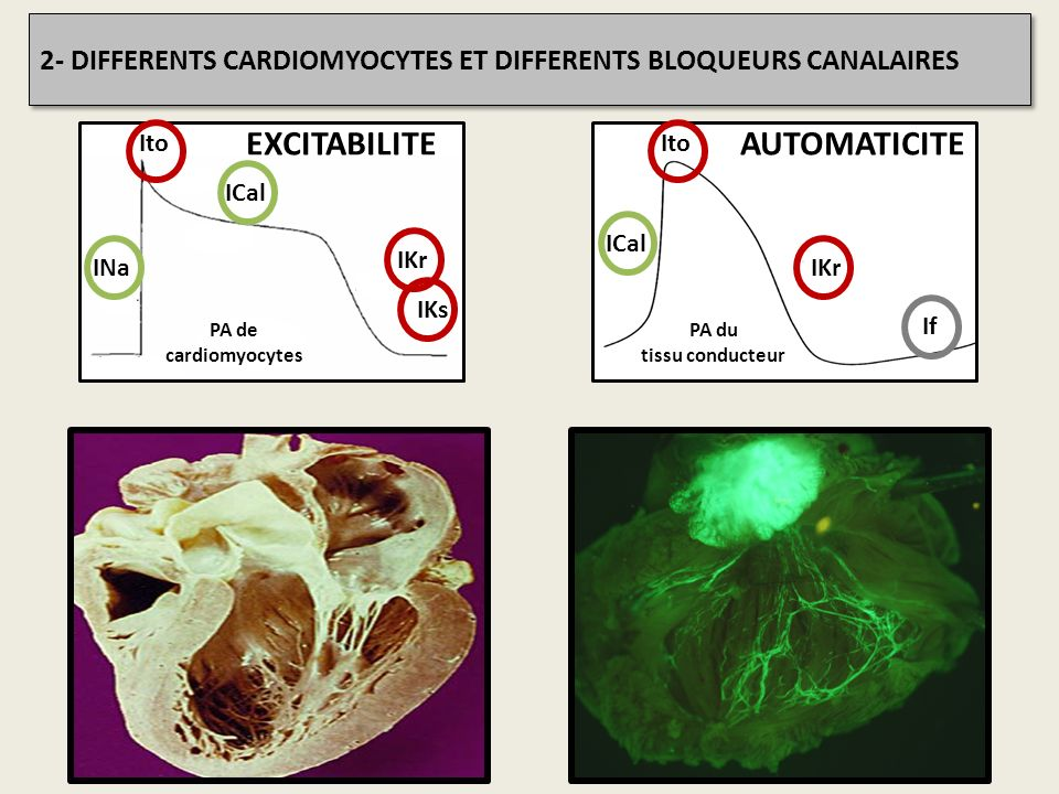PA du tissu conducteur IKr ICal Ito If AUTOMATICITE 2- DIFFERENTS CARDIOMYOCYTES ET DIFFERENTS BLOQUEURS CANALAIRES PA de cardiomyocytes INa ICal Ito