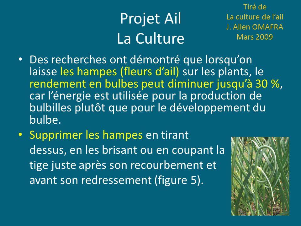 Projet Ail La Culture Des recherches ont démontré que lorsquon laisse les hampes (fleurs dail) sur les plants, le rendement en bulbes peut diminuer ju