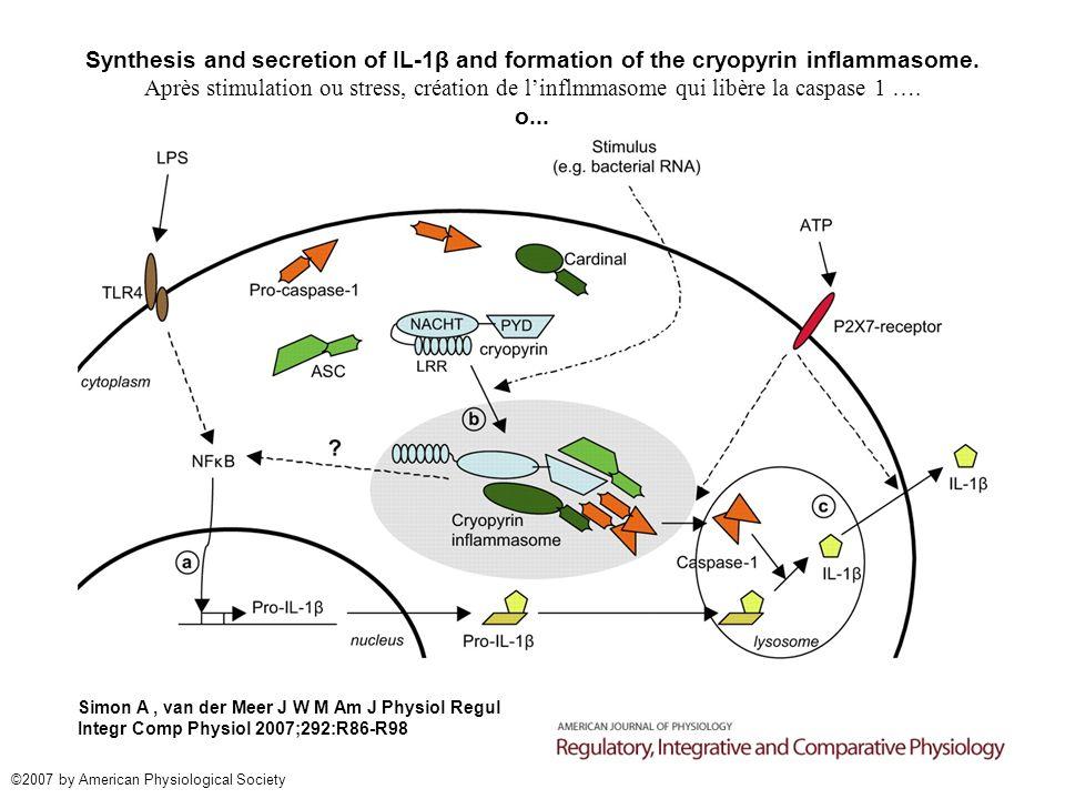 Synthesis and secretion of IL-1β and formation of the cryopyrin inflammasome. Après stimulation ou stress, création de linflmmasome qui libère la casp
