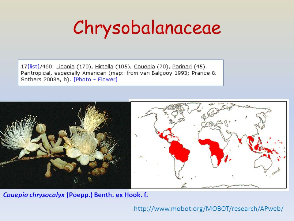 Chrysobalanaceae http://www.mobot.org/MOBOT/research/APweb/ Couepia chrysocalyx (Poepp.) Benth. ex Hook. f.