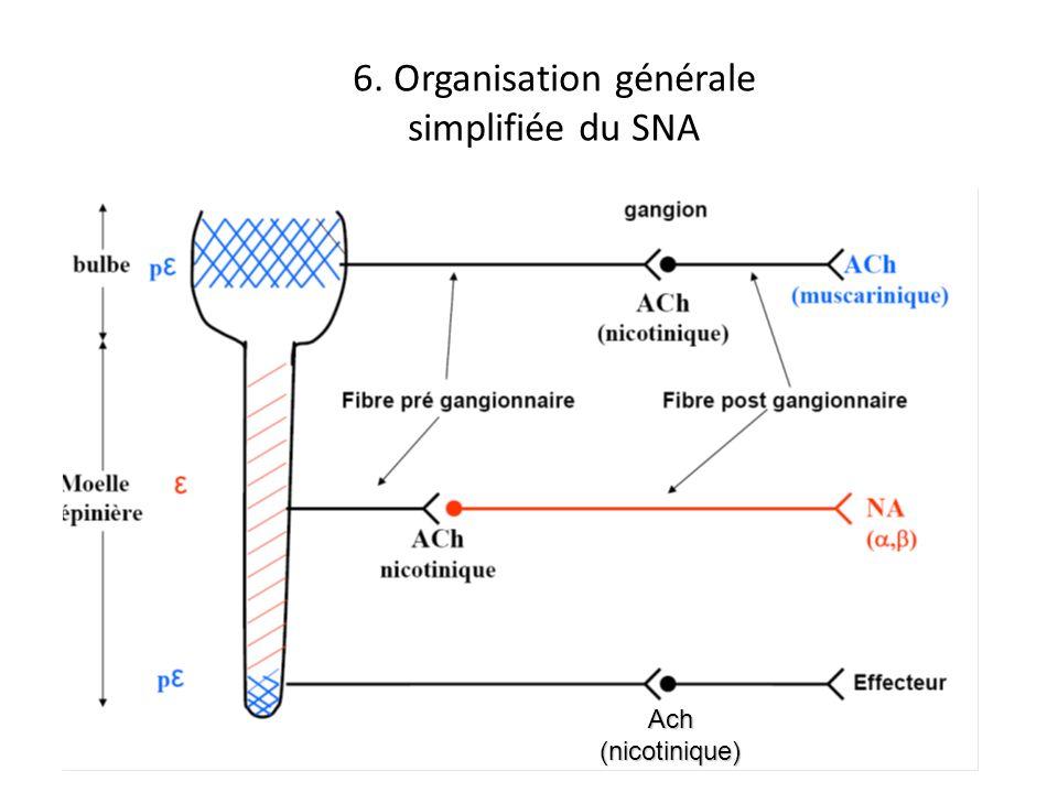 6. Organisation générale simplifiée du SNA Ach(nicotinique)