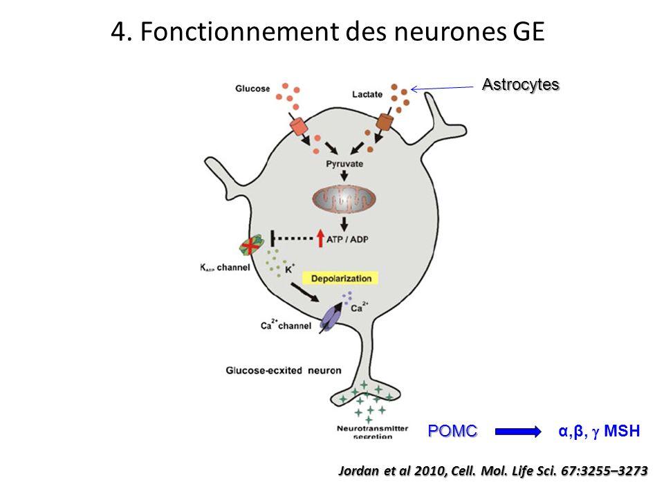 Jordan et al 2010, Cell. Mol. Life Sci. 67:3255–3273 4. Fonctionnement des neurones GE Astrocytes POMC α,β, MSH