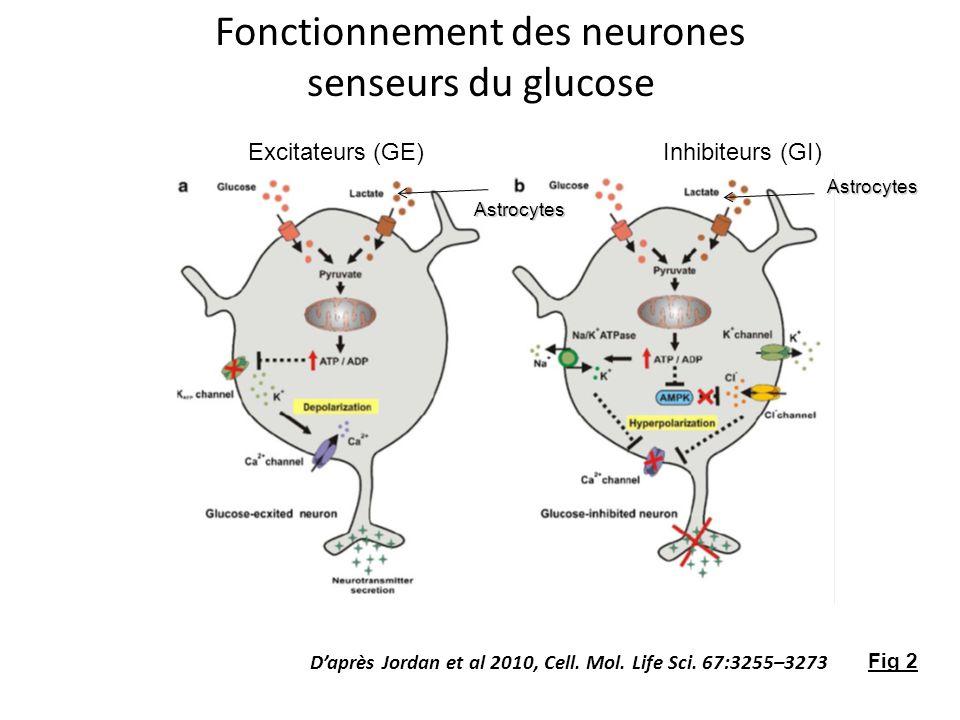 Fonctionnement des neurones senseurs du glucose Excitateurs (GE)Inhibiteurs (GI) Daprès Jordan et al 2010, Cell. Mol. Life Sci. 67:3255–3273 Fig 2 Ast