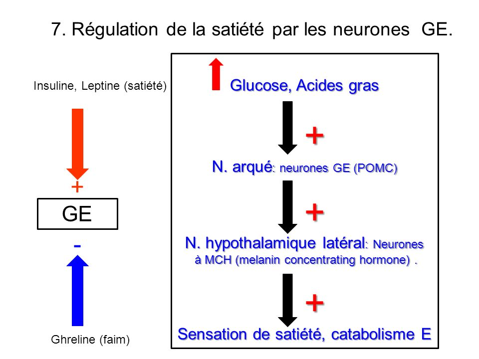 Glucose, Acides gras + N. arqué : neurones GE (POMC) + N. hypothalamique latéral : Neurones à MCH (melanin concentrating hormone). à MCH (melanin conc