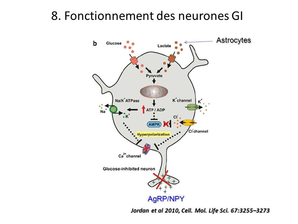 Jordan et al 2010, Cell. Mol. Life Sci. 67:3255–3273 Astrocytes 8. Fonctionnement des neurones GI AgRP/NPY