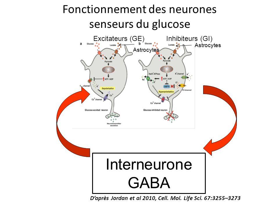 Fonctionnement des neurones senseurs du glucose Daprès Jordan et al 2010, Cell. Mol. Life Sci. 67:3255–3273 Excitateurs (GE)Inhibiteurs (GI)Astrocytes