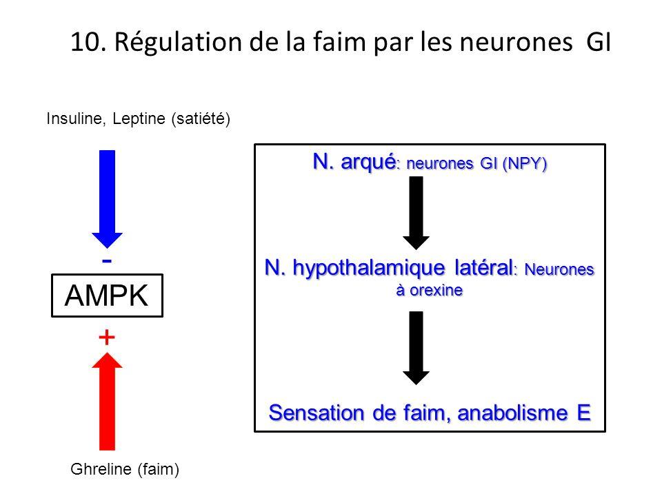 N. arqué : neurones GI (NPY) N. hypothalamique latéral : Neurones à orexine Sensation de faim, anabolisme E 10. Régulation de la faim par les neurones