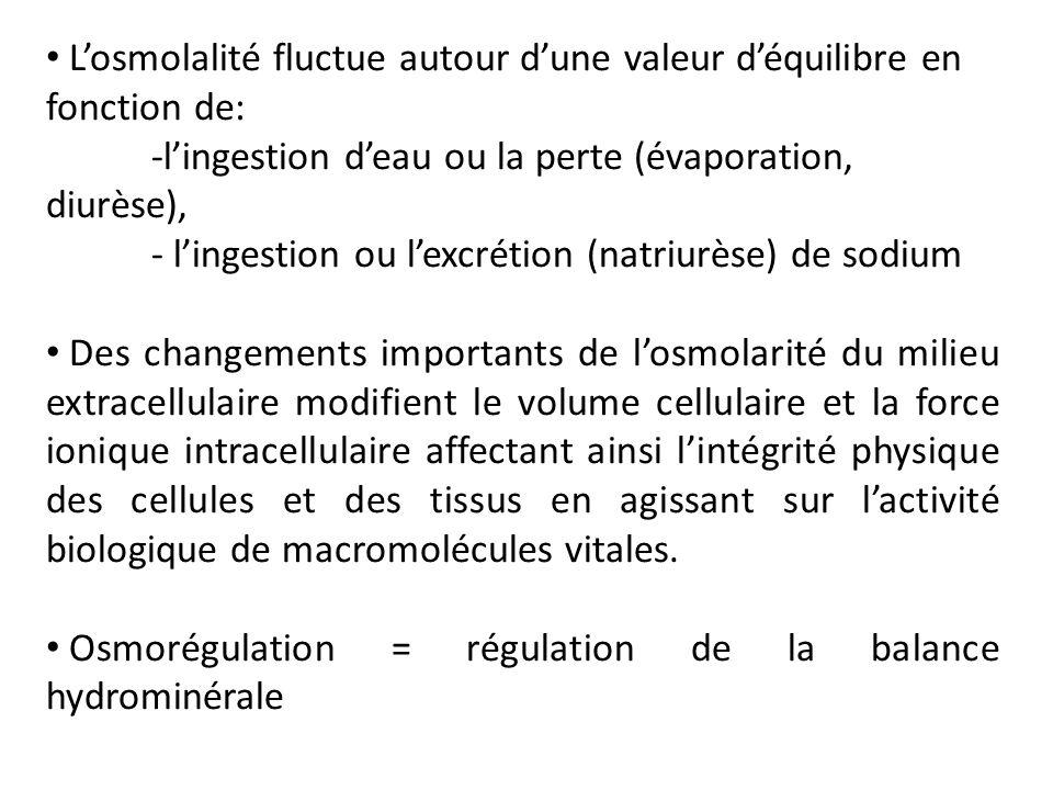 Losmolalité fluctue autour dune valeur déquilibre en fonction de: -lingestion deau ou la perte (évaporation, diurèse), - lingestion ou lexcrétion (nat
