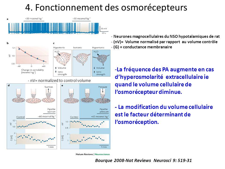 Bourque 2008-Nat Reviews Neurosci 9: 519-31 4. Fonctionnement des osmorécepteurs - nV= normalized to control volume - Neurones magnocellulaires du NSO