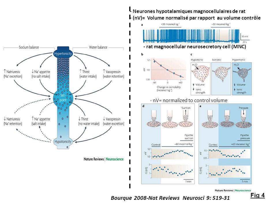 - nV= normalized to control volume - rat magnocellular neurosecretory cell (MNC) Fig 4 - Neurones hypotalamiques magnocellulaires de rat - (nV)= Volum