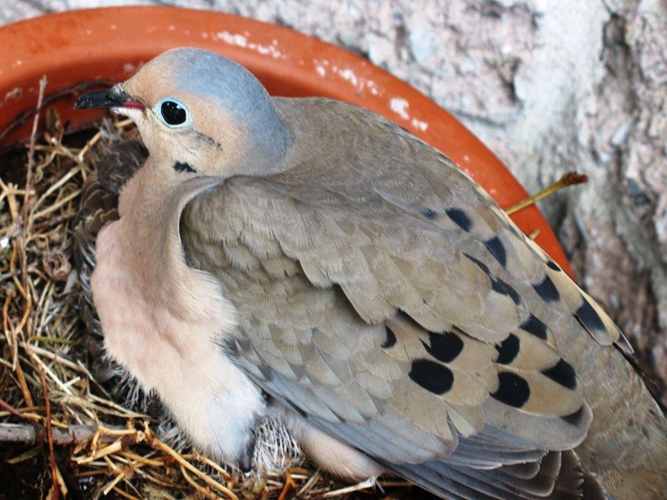 Les premiers jours, loisillon est une petite boule de plumes, donc la femelle peut le recouvrir complètement, mais cest plus difficile à mesure quil g
