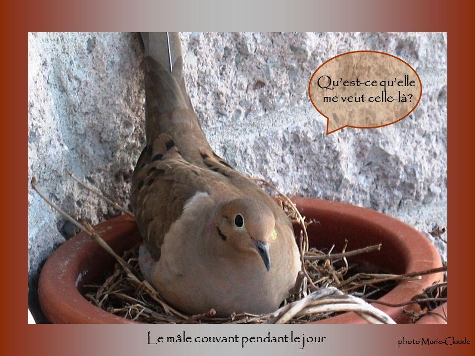 Les tourterelles sont plutôt brouillonnes quand vient le moment de construire leurs nids. À lautomne, javais laissé mes pots avec les fleurs fanées da