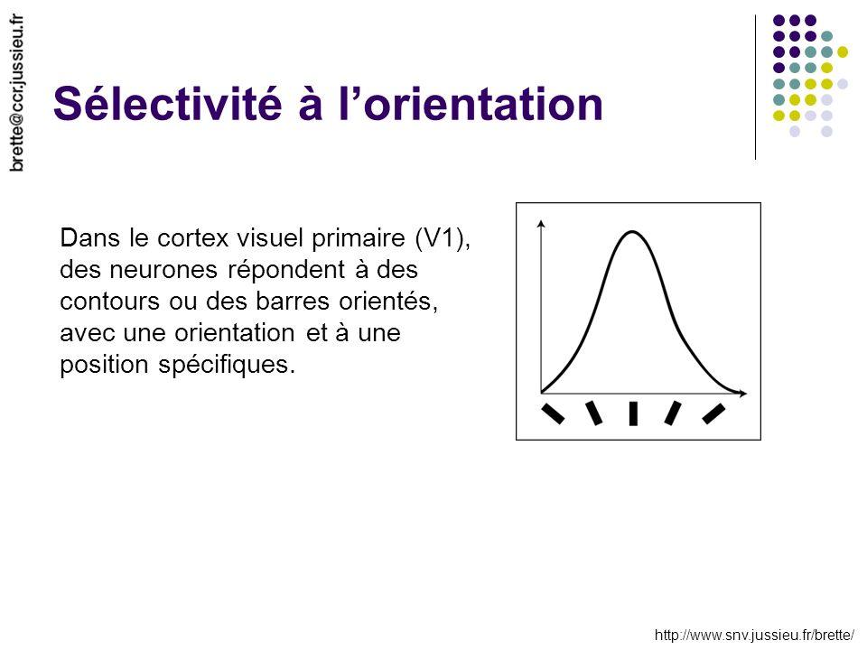 http://www.snv.jussieu.fr/brette/ Sélectivité à lorientation Dans le cortex visuel primaire (V1), des neurones répondent à des contours ou des barres