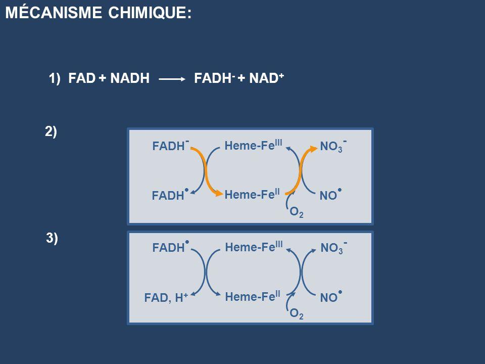 1) FAD + NADHFADH - + NAD + MÉCANISME CHIMIQUE: FADH - FADH Heme-Fe III Heme-Fe II NO 3 - NO O2O2 FADH FAD, H + Heme-Fe III Heme-Fe II NO 3 - NO O2O2