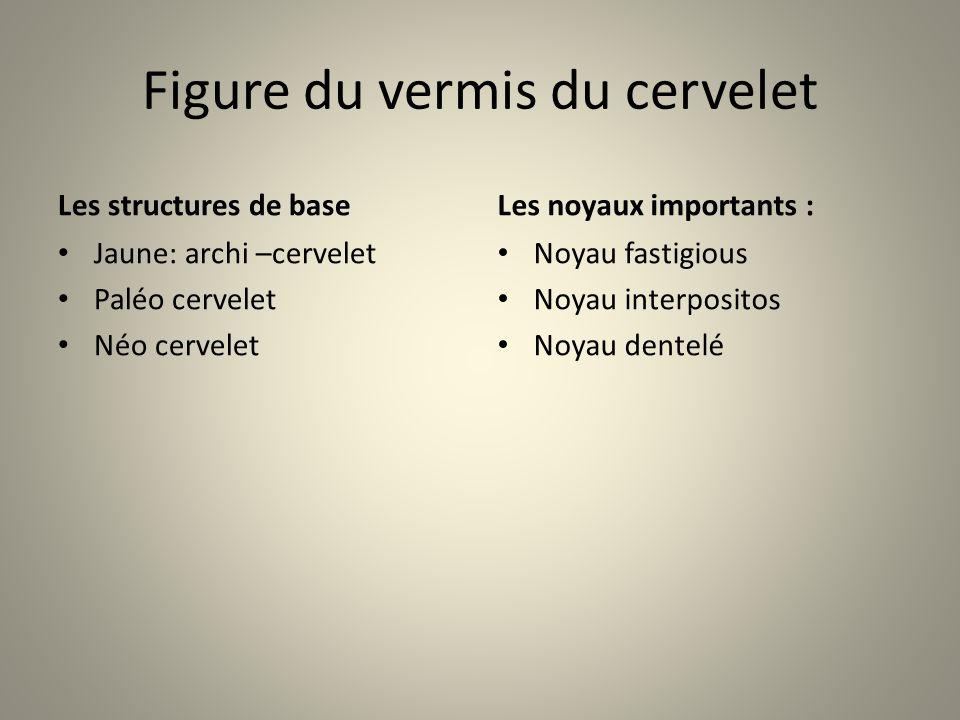 Figure du vermis du cervelet Les structures de base Jaune: archi –cervelet Paléo cervelet Néo cervelet Les noyaux importants : Noyau fastigious Noyau interpositos Noyau dentelé