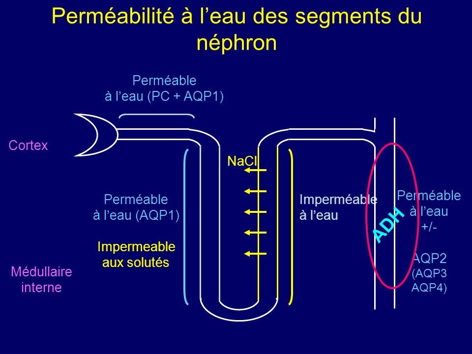 Perméabilité à leau des segments du néphron Cortex Médullaire interne Perméable à leau (AQP1) Impermeable aux solutés Imperméable à leau NaCl Perméabl