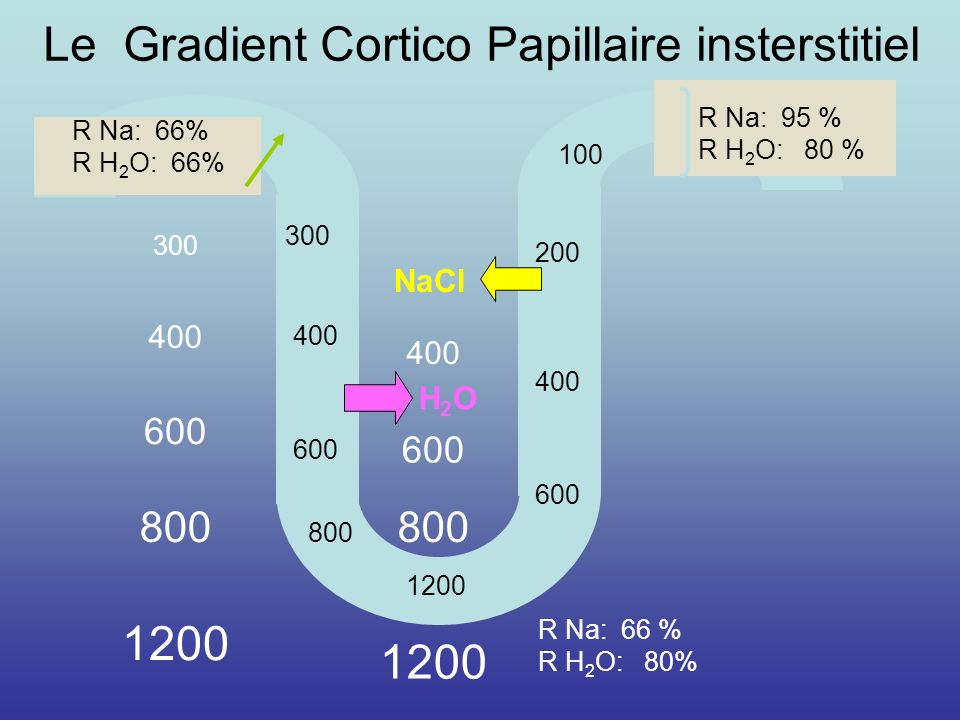 290 300 400 600 800 1200 600 400 200 100 H2OH2O NaCl R Na: 66% R H 2 O: 66% R Na: 95 % R H 2 O: 80 % Le Gradient Cortico Papillaire insterstitiel R Na