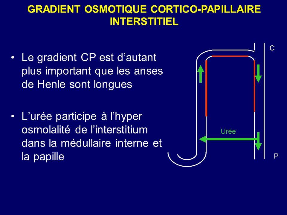 GRADIENT OSMOTIQUE CORTICO-PAPILLAIRE INTERSTITIEL C P Urée Le gradient CP est dautant plus important que les anses de Henle sont longues Lurée partic