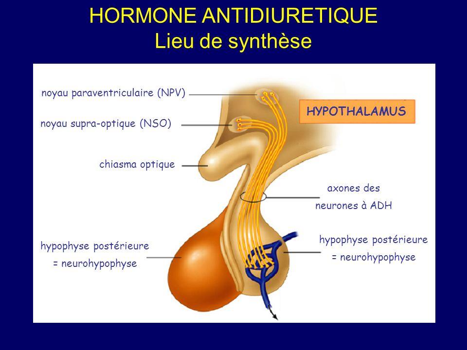hypophyse postérieure = neurohypophyse noyau supra-optique (NSO) noyau paraventriculaire (NPV) HYPOTHALAMUS chiasma optique axones des neurones à ADH