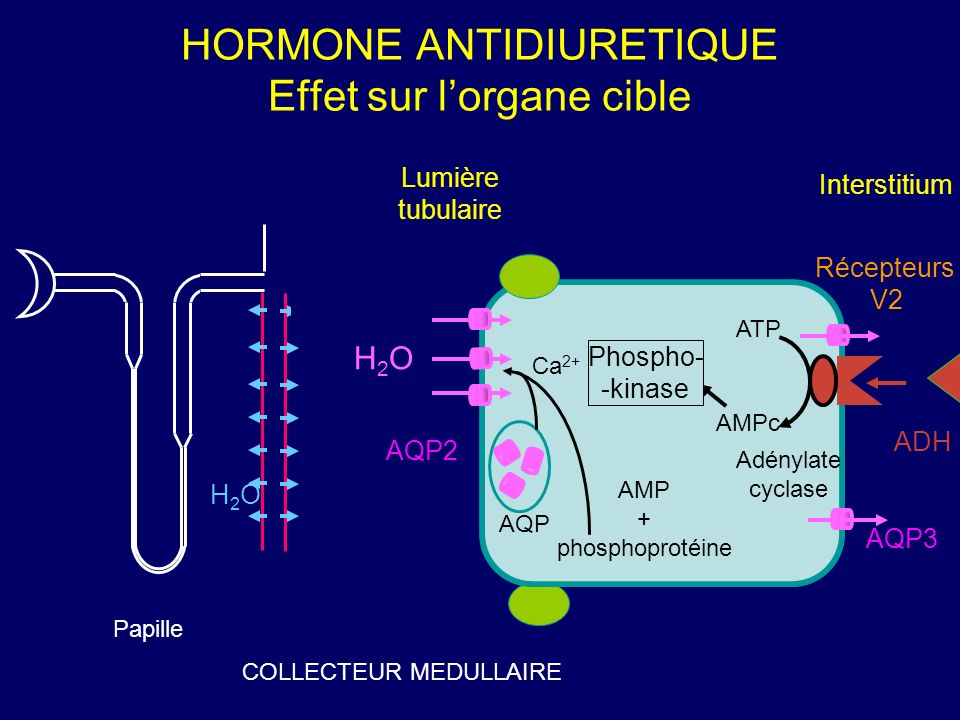 HORMONE ANTIDIURETIQUE Effet sur lorgane cible Lumière tubulaire Interstitium ATP AMPc AMP + phosphoprotéine Phospho- -kinase Ca 2+ Adénylate cyclase