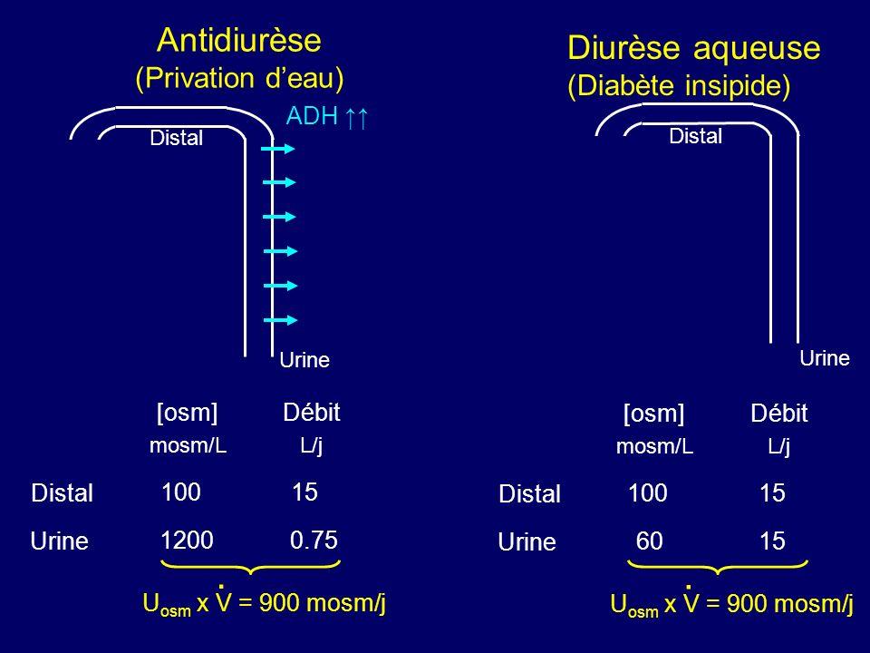 Distal Urine Distal Urine [osm] mosm/L Débit L/j 100 1200 15 0.75 U osm x V = 900 mosm/j. ADH Antidiurèse (Privation deau) Distal Urine Distal Urine [
