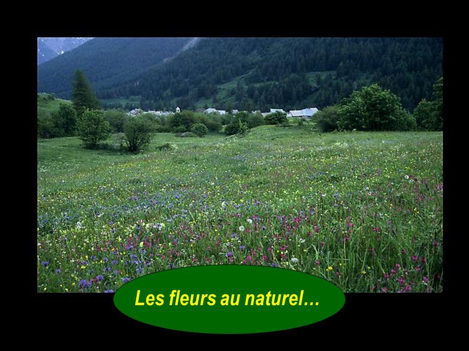 - François, toi qui connais tant de choses sur la nature et le jardinage, peux-tu me dire ce qui se passe en Europe avec les pissenlits, les violettes
