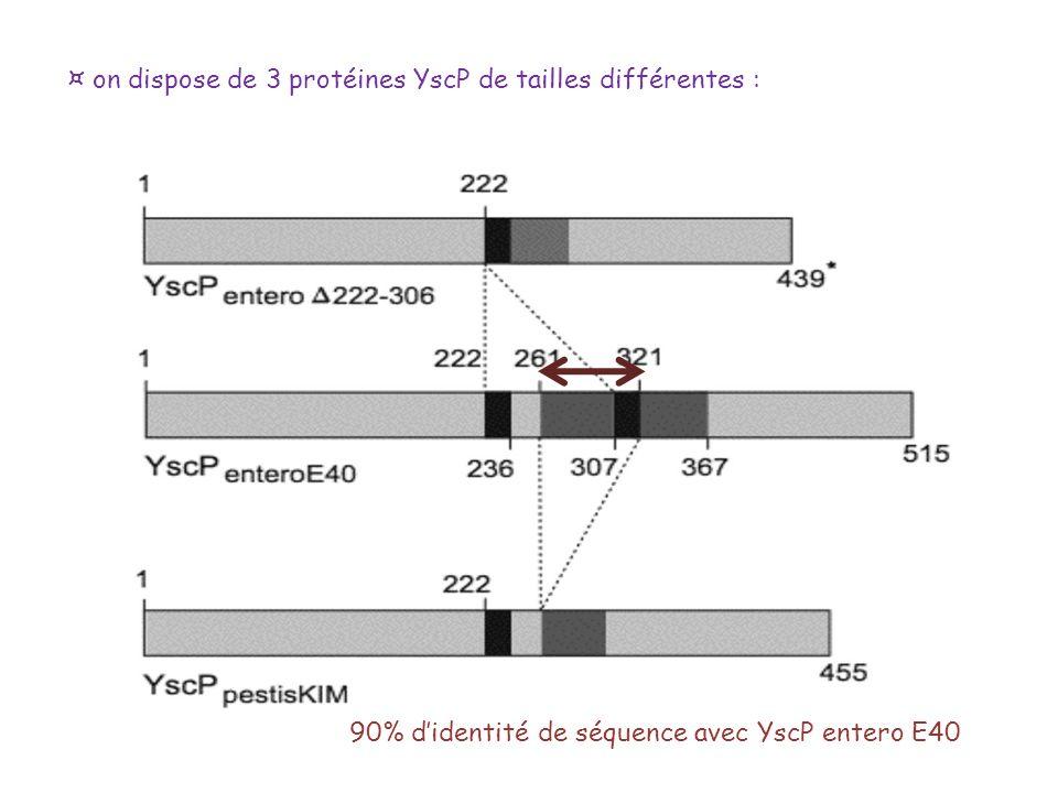 ¤ on dispose de 3 protéines YscP de tailles différentes : 90% didentité de séquence avec YscP entero E40