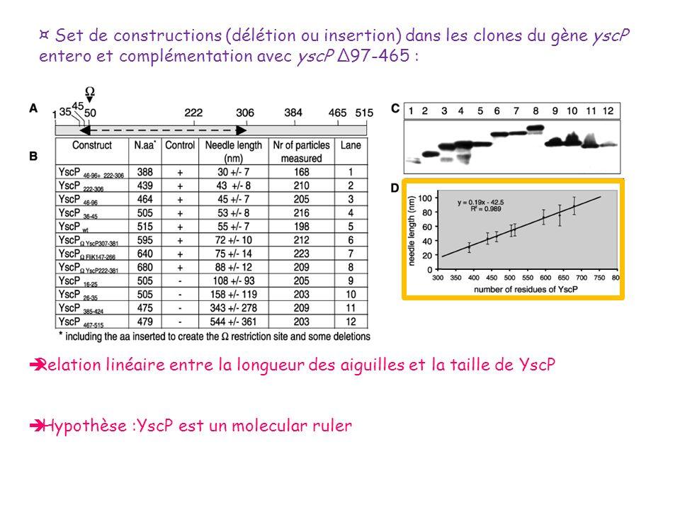¤ Set de constructions (délétion ou insertion) dans les clones du gène yscP entero et complémentation avec yscP Δ97-465 : Relation linéaire entre la l