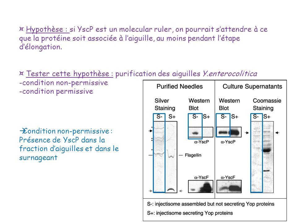 ¤ Hypothèse : si YscP est un molecular ruler, on pourrait sattendre à ce que la protéine soit associée à laiguille, au moins pendant létape délongatio
