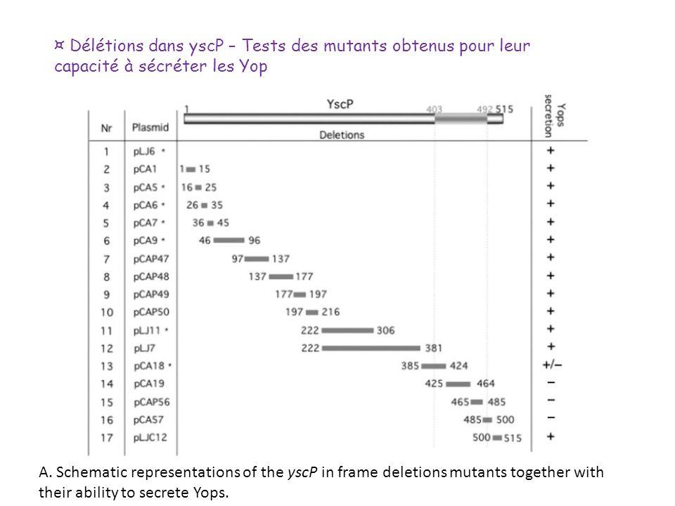 ¤ Délétions dans yscP – Tests des mutants obtenus pour leur capacité à sécréter les Yop A. Schematic representations of the yscP in frame deletions mu