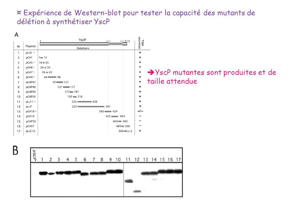 ¤ Expérience de Western-blot pour tester la capacité des mutants de délétion à synthétiser YscP YscP mutantes sont produites et de taille attendue
