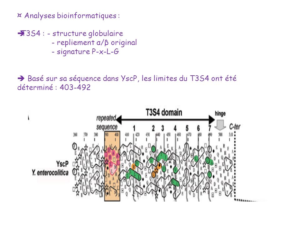 ¤ Analyses bioinformatiques : T3S4 : - structure globulaire - repliement α/β original - signature P-x-L-G Basé sur sa séquence dans YscP, les limites