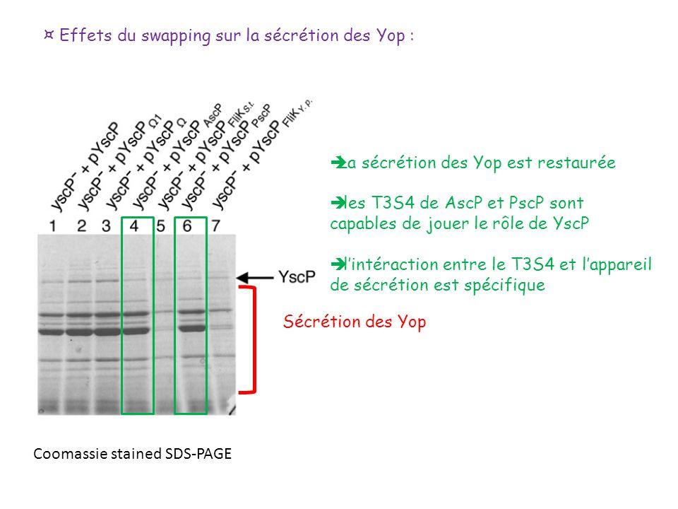 ¤ Effets du swapping sur la sécrétion des Yop : Sécrétion des Yop Coomassie stained SDS-PAGE La sécrétion des Yop est restaurée les T3S4 de AscP et Ps