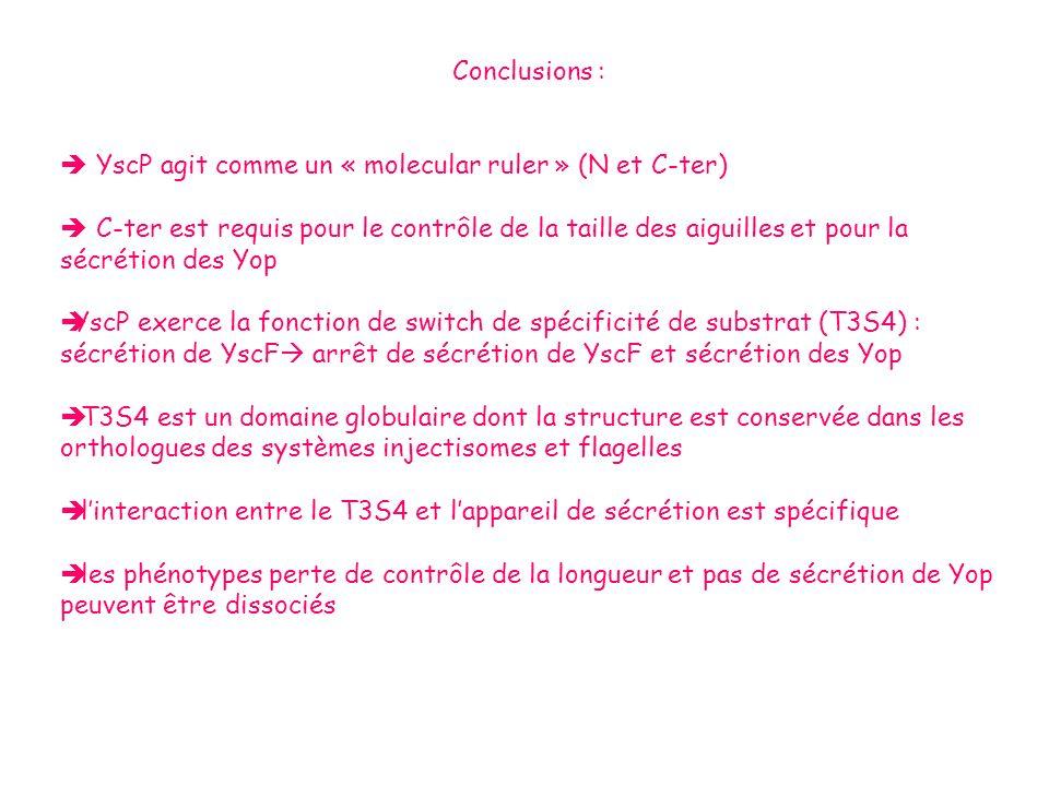 Conclusions : YscP agit comme un « molecular ruler » (N et C-ter) C-ter est requis pour le contrôle de la taille des aiguilles et pour la sécrétion de