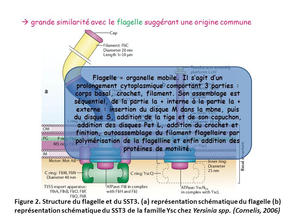 grande similarité avec le flagelle suggérant une origine commune Figure 2. Structure du flagelle et du SST3. (a) représentation schématique du flagell