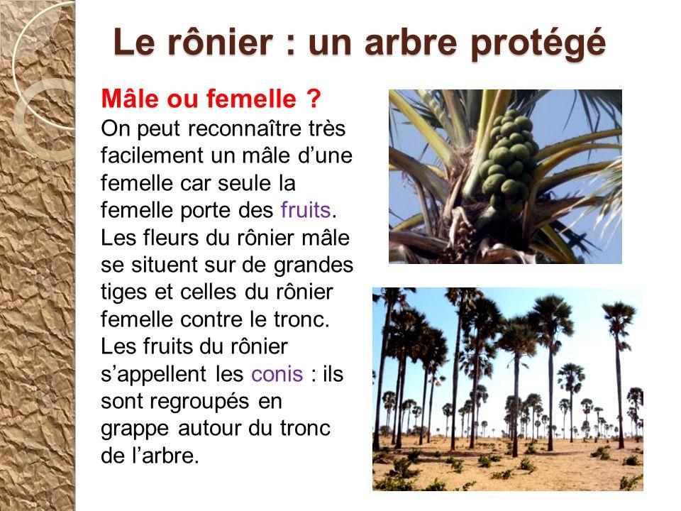 Un arbre très utile Mr Sene nous a expliqué beaucoup de choses sur le rônier: cest un arbre très utile pour les villageois grâce à son tronc, ses frui