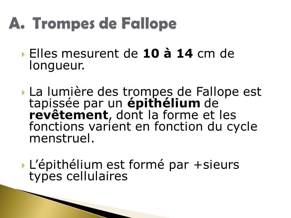 Elles mesurent de 10 à 14 cm de longueur. La lumière des trompes de Fallope est tapissée par un épithélium de revêtement, dont la forme et les fonctio