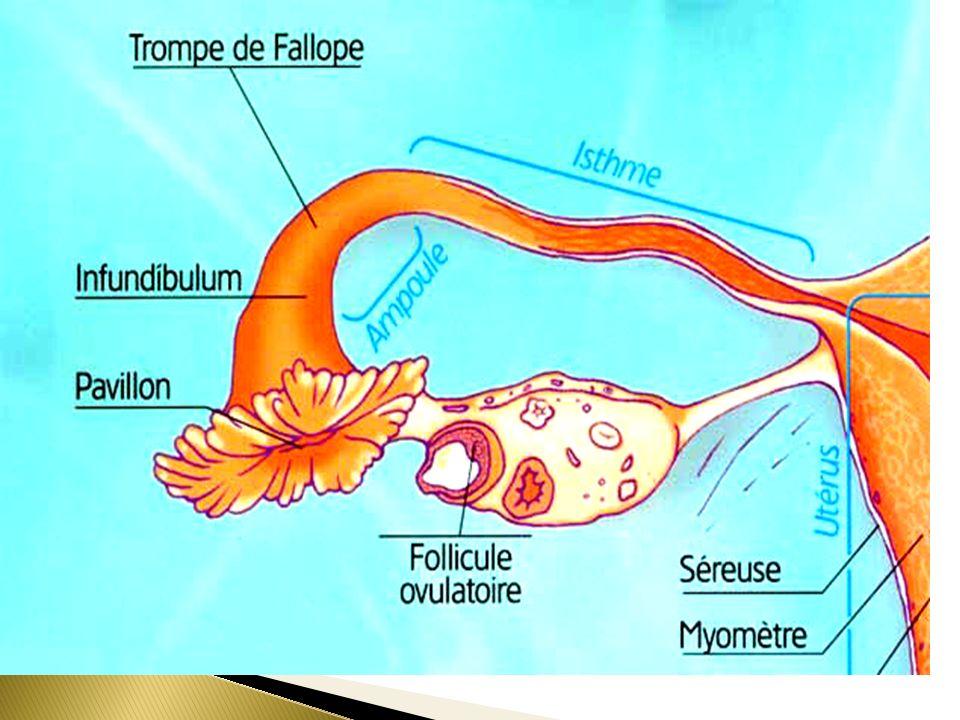 1 23 Partie utérine IsthmeAmpoule Franges tubaires Pavillon laugmentation de lépaisseur de la paroi musculaire et la diminution des franges dans la lumière tubaire.