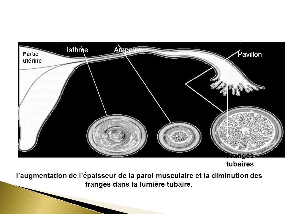 1 23 Partie utérine IsthmeAmpoule Franges tubaires Pavillon laugmentation de lépaisseur de la paroi musculaire et la diminution des franges dans la lu