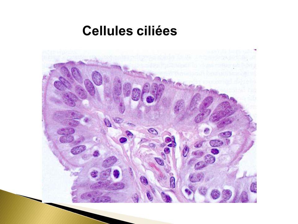 Cellules ciliées