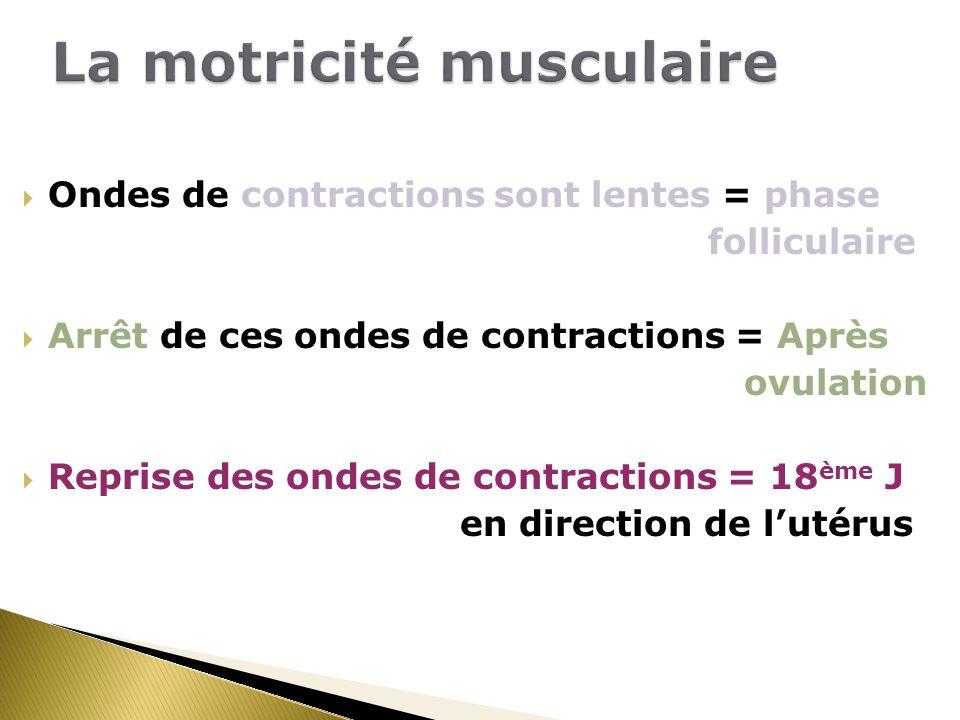 Ondes de contractions sont lentes = phase folliculaire Arrêt de ces ondes de contractions = Après ovulation Reprise des ondes de contractions = 18 ème J en direction de lutérus