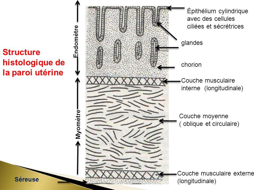 glandes Épithélium cylindrique avec des cellules ciliées et sécrétrices chorion Couche musculaire interne (longitudinale) Couche moyenne ( oblique et circulaire) Couche musculaire externe (longitudinale) Séreuse Endomètre Myomètre Structure histologique de la paroi utérine