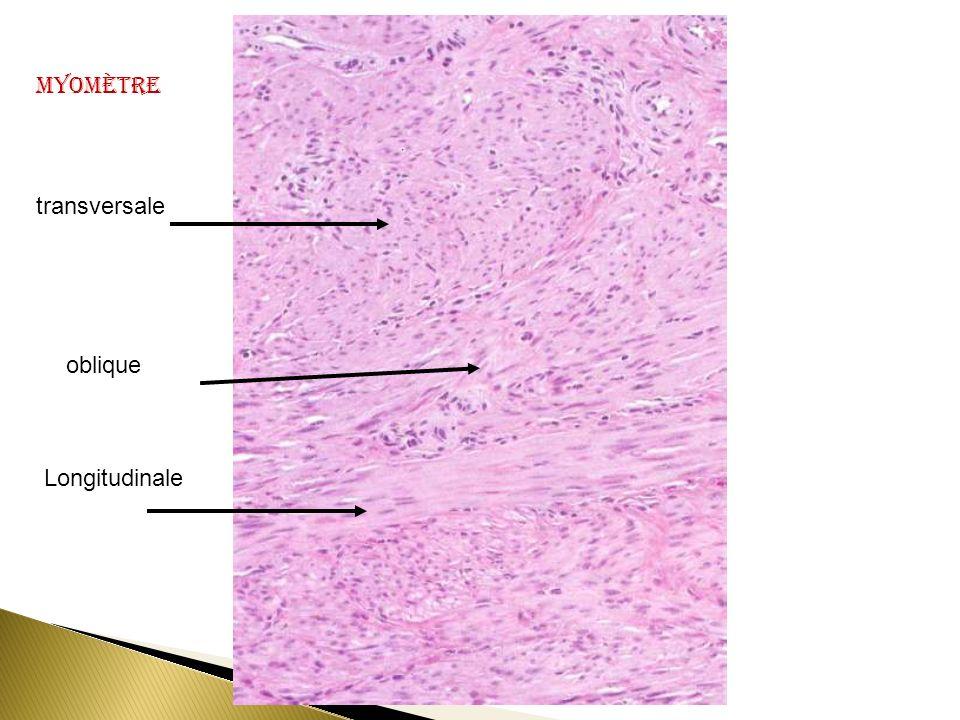 Myomètre transversale oblique Longitudinale
