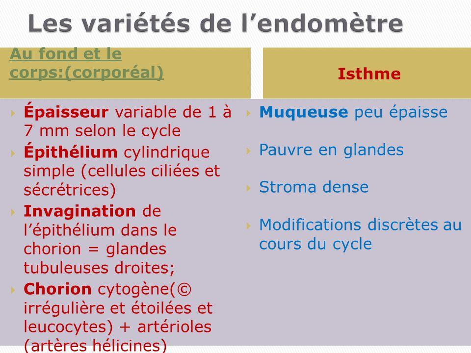 Au fond et le corps:(corporéal) Isthme Épaisseur variable de 1 à 7 mm selon le cycle Épithélium cylindrique simple (cellules ciliées et sécrétrices) I